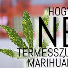 Hogyan ne termesszünk marihuánát?