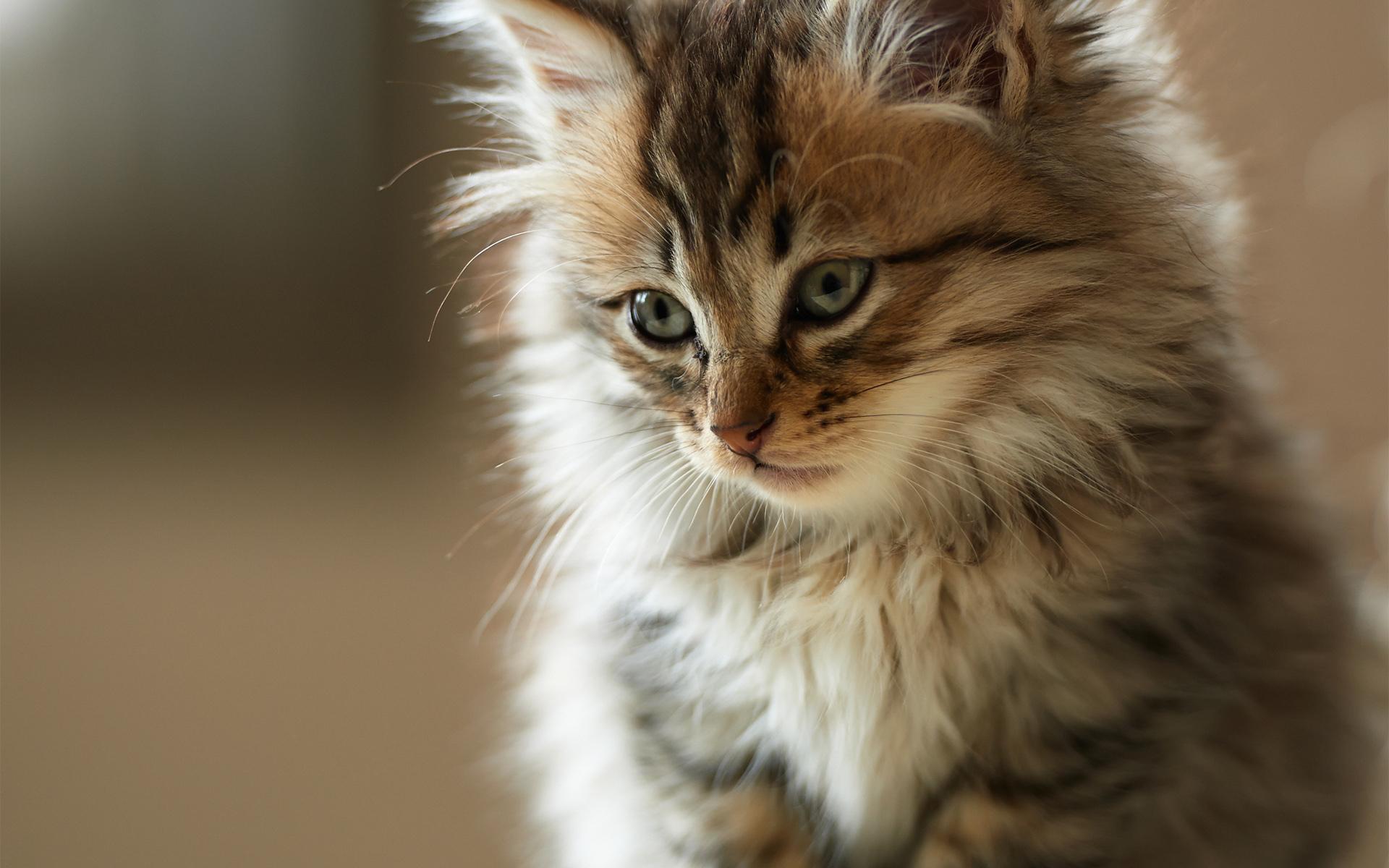 cute-fluffy-cat